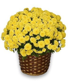 Jumbo Yellow Fall Mum Plant in Hudson NH, Anne's Florals & Gifts