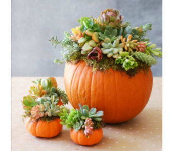 Succulents & Pumpkins in Baltimore MD, Raimondi's Flowers & Fruit Baskets