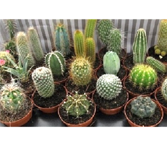 Assorted Small Cactus in Timmins ON, Timmins Flower Shop Inc.