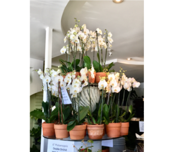 6� Phalaenopsis Double Orchid in Mobile AL, Cleveland the Florist