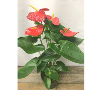 Anthurium in Vermilion AB, Fantasy Flowers