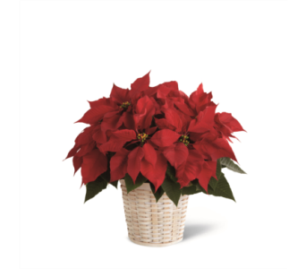 Red Poinsettia in a Basket in Ajax ON, Reed's Florist Ltd