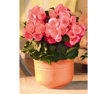 Begonia in Kennebunk ME, Blooms & Heirlooms ��