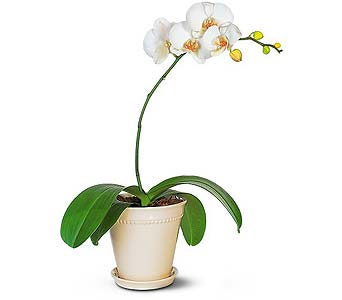 White Phalaenopsis Orchid Plant in Seattle WA, Topper's European Floral Design