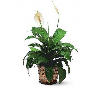 Small Spathiphyllum Plant in Seattle WA, Topper's European Floral Design