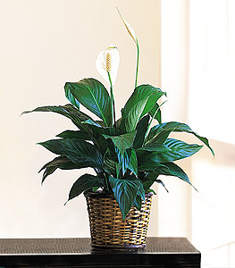 Small Spathiphyllum Plant in Arlington Heights IL, Sylvia's - Amlings Flowers