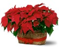 Double Poinsettia Basket in Sayville NY Sayville Flowers Inc
