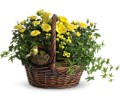 Yellow Trio Basket in Salem MA Flowers by Darlene/North Shore Fruit Baskets