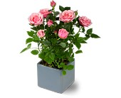 Miniature Rose Bush in Belleville ON, Live, Love and Laugh Flowers, Antiques and Gifts