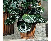 Calathea in Clovis CA, A Secret Garden