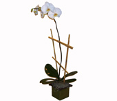 Single Phalaenopsis Orchid Plant in Washington DC, Greenworks By Shane
