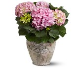 Pink Hydrangea Plant in Oklahoma City OK, Array of Flowers & Gifts