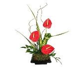 Anthurium Delight