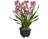 Simply Cymbidium in Brunswick GA, The Flower Basket