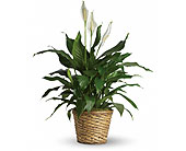 Medium Spathiphyllum Plant in Dallas TX, In Bloom Flowers, Gifts and More