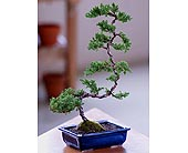 Deluxe Windswept Bonsai in Provo UT, Provo Floral, LLC