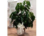 Umbrella Tree Plant (Metro-Detroit Only) in Southfield MI, Thrifty Florist