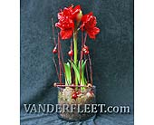 Amaryllis in Glass Exclusive in Etobicoke ON, VANDERFLEET Flowers