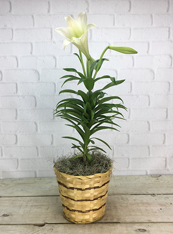 Easter Lily: Undressed in Newport News VA, Pollard's Florist