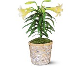 Easter Lily Plant in West Hempstead NY, Westminster Florist