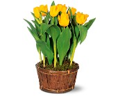 Potted Yellow Tulips in El Cerrito CA, Dream World Floral & Gifts