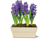 Hyacinth Planter in Amherst NY, The Trillium's Courtyard Florist