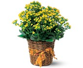 Vivid Yellow Kalanchoe Plant in Scobey MT, The Flower Bin