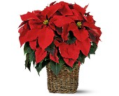 6 inch Poinsettia in San Clemente CA, Beach City Florist