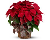 Large Red Poinsettia in Salem OR, Olson Florist