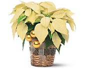 White Poinsettia in Georgina ON, Keswick Flowers & Gifts