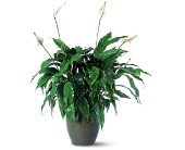 Spathiphyllum Plant in Derry, New Hampshire, Backmann Florist