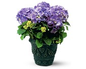 Blue Hydrangea in Baltimore MD, Perzynski and Filar Florist