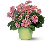 Pink Kalanchoe in Scobey MT, The Flower Bin