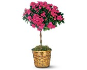 Azalea Topiary in El Cerrito CA, Dream World Floral & Gifts