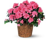 Pink Azalea in Oklahoma City, Oklahoma, Capitol Hill Florist and Gifts