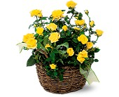 Yellow Miniature Roses in New Britain CT, Weber's Nursery & Florist, Inc.
