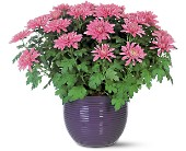 Lavender Chrysanthemum in Midwest City OK, Penny and Irene's Flowers & Gifts