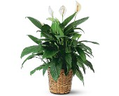 Large Spathiphyllum Plant in Flint MI, Curtis Flower Shop