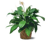 Medium Spathiphyllum Plant in East Syracuse NY, Whistlestop Florist Inc