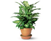 Dieffenbachia in Friendswood TX, Lary's Florist & Designs LLC