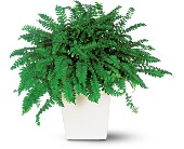 Decorative Fern in Midwest City OK, Penny and Irene's Flowers & Gifts