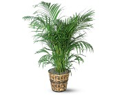 Areca Palm in Battle Creek MI, Swonk's Flower Shop