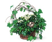 Kalanchoe and Ivy Basket in Charlotte NC, Starclaire House Of Flowers Florist