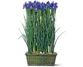 Iris Garden in Nationwide MI, Wesley Berry Florist, Inc.