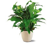 Spathiphyllum Plant in Oklahoma City, Oklahoma, Capitol Hill Florist and Gifts