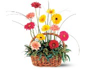 Uplifting Gerbera Basket in Quincy MA, Quint's House Of Flowers