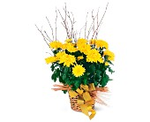 Yellow Hope Chrysanthemum in Nationwide MI, Wesley Berry Florist, Inc.