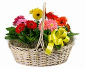 6 Gerbera Daisies in a Basket in Towson MD, Radebaugh Florist and Greenhouses