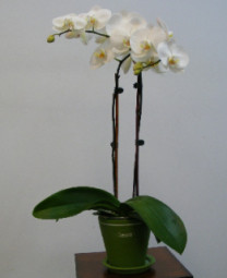 Phalaenopsis Orchid Plant in Canton NY, White's Flowers