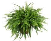 Boston Fern in Madison WI, Felly's Flowers
